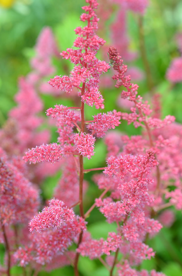 Astilbe X Arendsii Glut Westcountry Nurseries