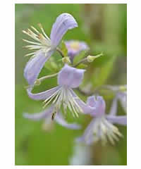 clematis x jouiniana 39 praecox 39 agm westcountry nurseries. Black Bedroom Furniture Sets. Home Design Ideas