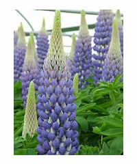 Lupinus 'Persian Slipper' (PBR)