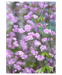 Thalictrum delavayi 'Hewitt's Double' AGM