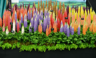 Lupinus Westcountry special mixed seed £4.50